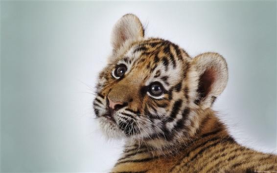 Wallpaper Cute little tiger