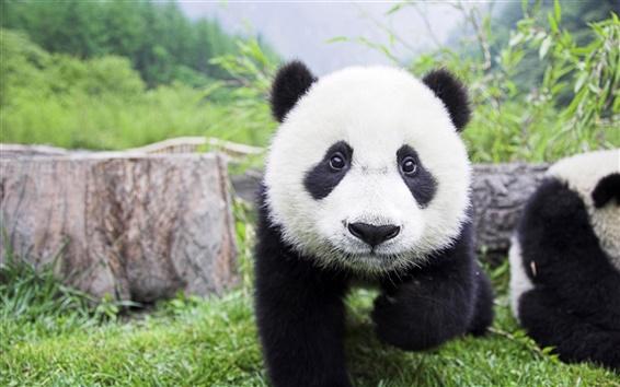 Wallpaper Cute panda
