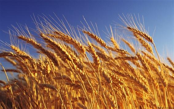 Wallpaper Golden waves of grain