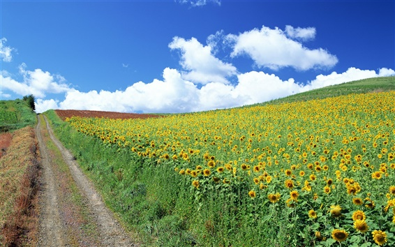 Wallpaper Hill full of sunflowers