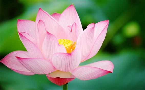 Wallpaper Pink lotus close up