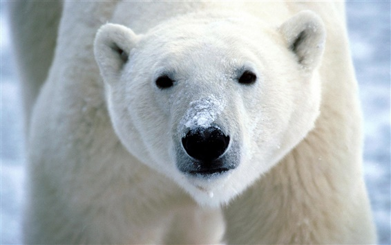 Обои Белый медведь крупным планом