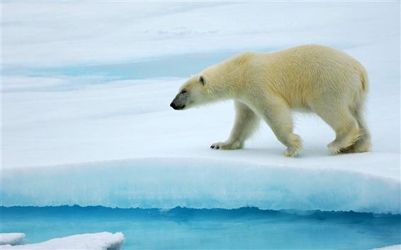 Wallpaper Polar bears walking on ice