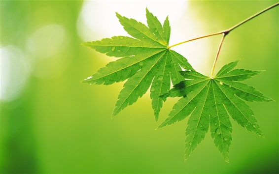 Wallpaper Two green Maple Leaf