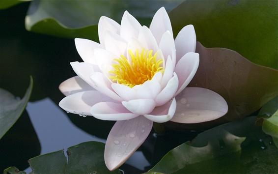 Wallpaper White Lotus