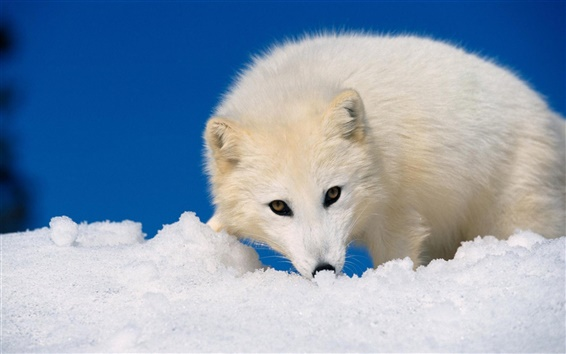 배경 화면 북극 여우