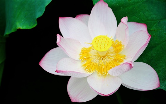 Wallpaper Blooming Lotus