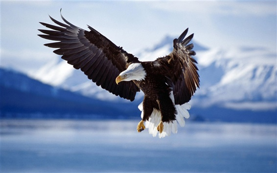 Wallpaper Flying eagle on the lake
