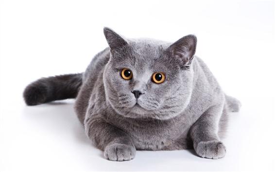 Обои Серый жирного кота