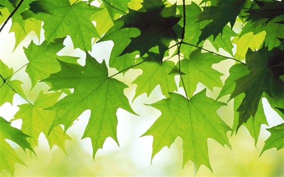 Wallpaper Green Maple Leaf