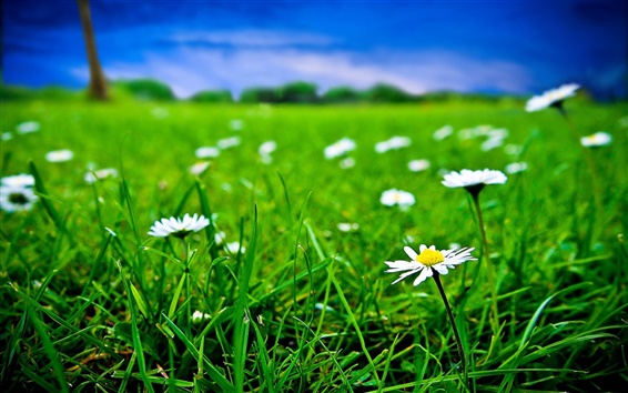 Wallpaper Green grass and white flowers