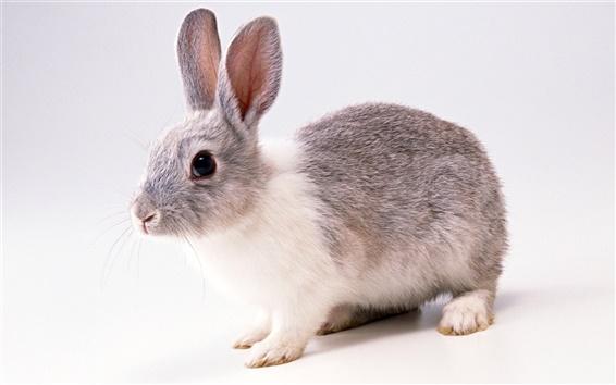 Wallpaper Grey Rabbit