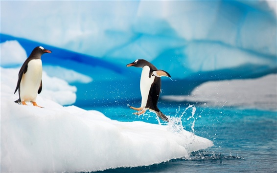Wallpaper Happy Antarctic penguins on ice