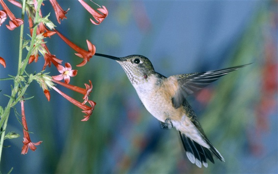 Wallpaper Hummingbird