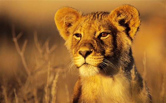 Papéis de Parede Leão sob o sol