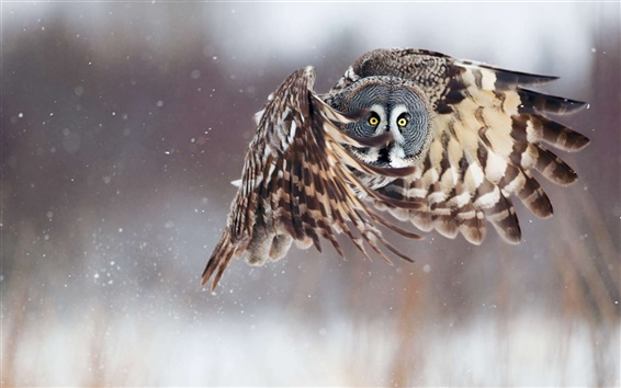 Wallpaper Owl in flight
