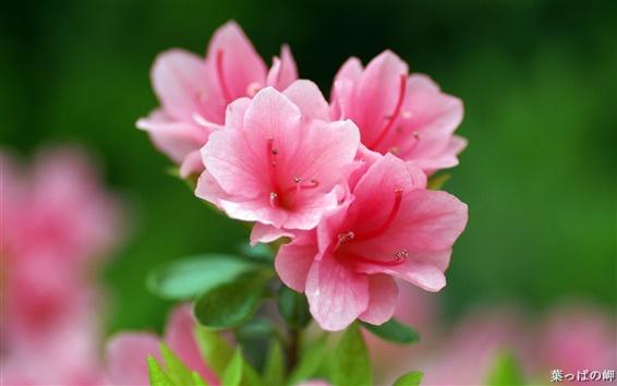 Papéis de Parede Azalea flores rosa