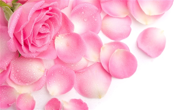 Wallpaper Pink rose petals