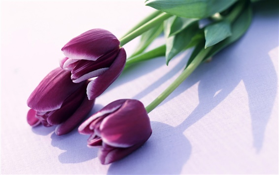 Wallpaper Purple tulips
