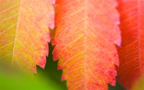 Papéis de Parede Red folha close-up