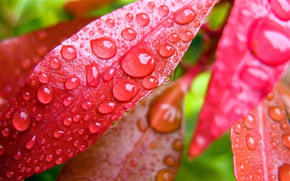 Wallpaper Red leaf with water droplets