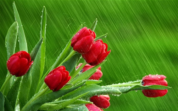 Wallpaper Red tulips green background