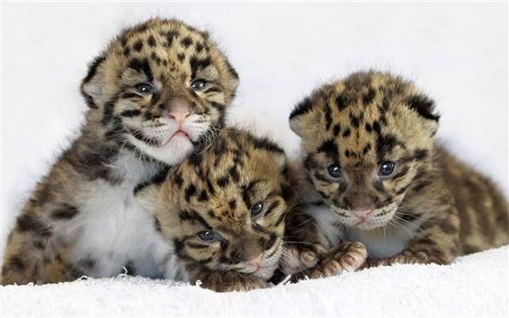 배경 화면 세 귀여운 호랑이