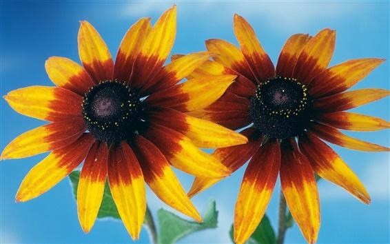 Обои Две оранжевые цветы