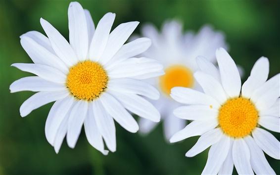 Papéis de Parede flores brancas