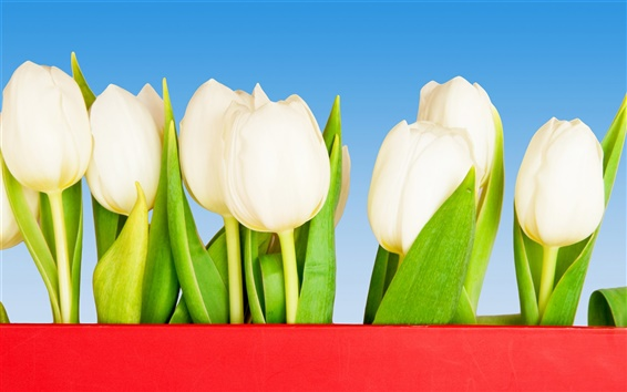 Wallpaper White tulip