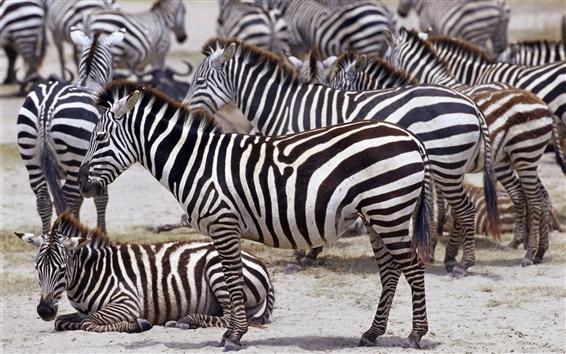 Papéis de Parede zebra