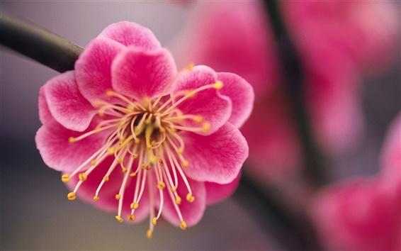 壁紙 赤桃のマクロ