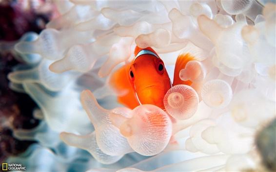 Wallpaper Clown fish ocean underwater world