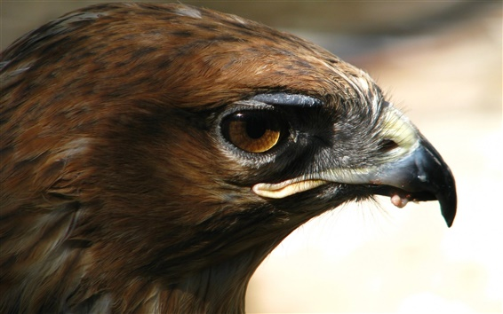 Wallpaper Eagle eye
