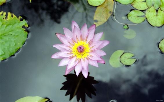 Обои Цветок водяной лилии озера
