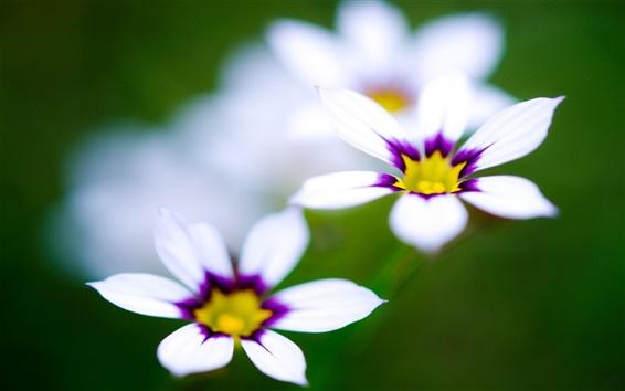 Fond d'écran Macro fleurs blanches