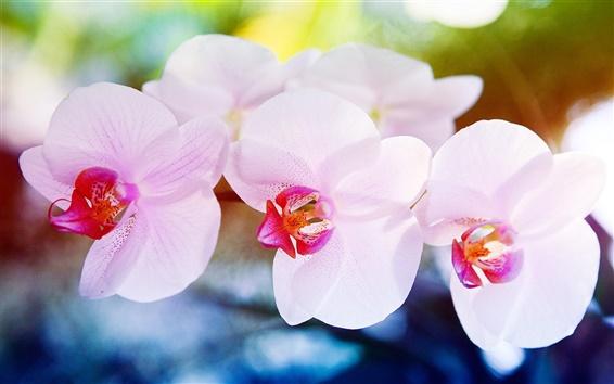 Wallpaper Orchid flowers macro
