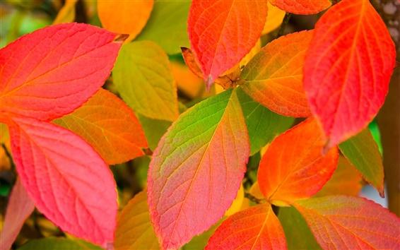 Wallpaper Red leaves