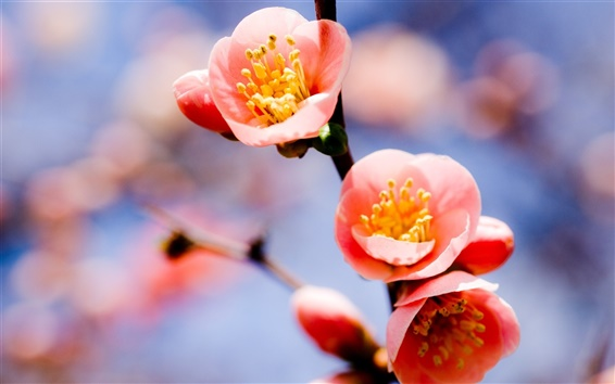 壁紙 赤い梅の花クローズアップ