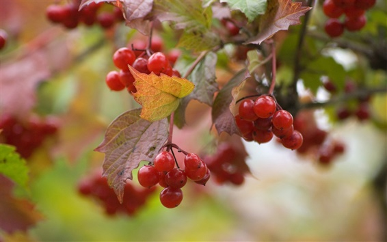 Wallpaper Red viburnum berries