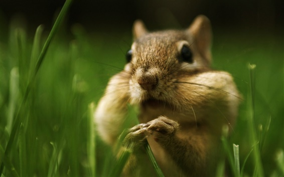 Wallpaper Squirrel in the grass