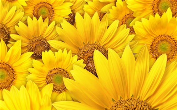 Wallpaper Sunflowers macro photography