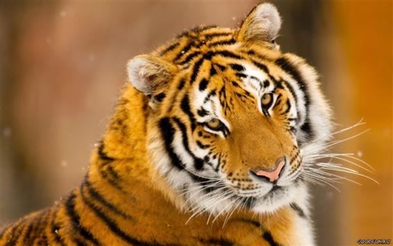 Wallpaper Tiger cute photo
