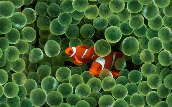 Wallpaper Two clown fish
