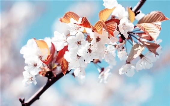 Обои Белый цветущей сакуры