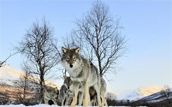 Обои Зимний снег волк