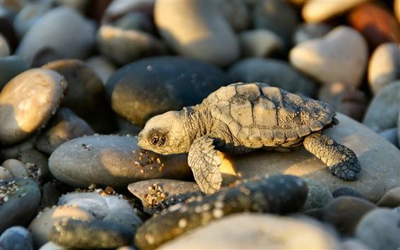 Papéis de Parede A pequena tartaruga e pedras