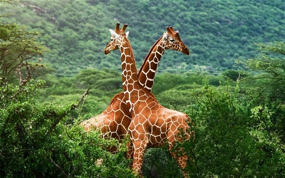 Papéis de Parede Africano girafas da savana