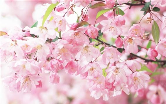 배경 화면 벚꽃 꽃잎 핑크 스프링