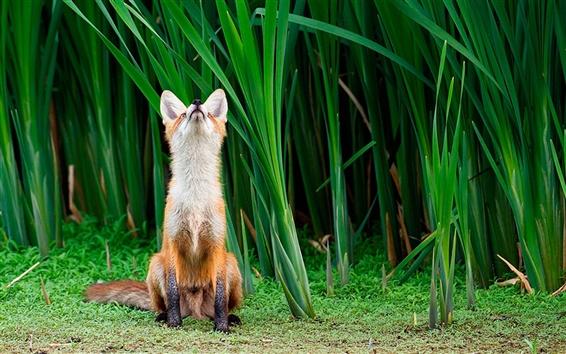 Wallpaper Cute little fox
